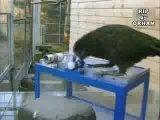 самая умная птичка Киа (живет в Новой Зеландии) (прикол)